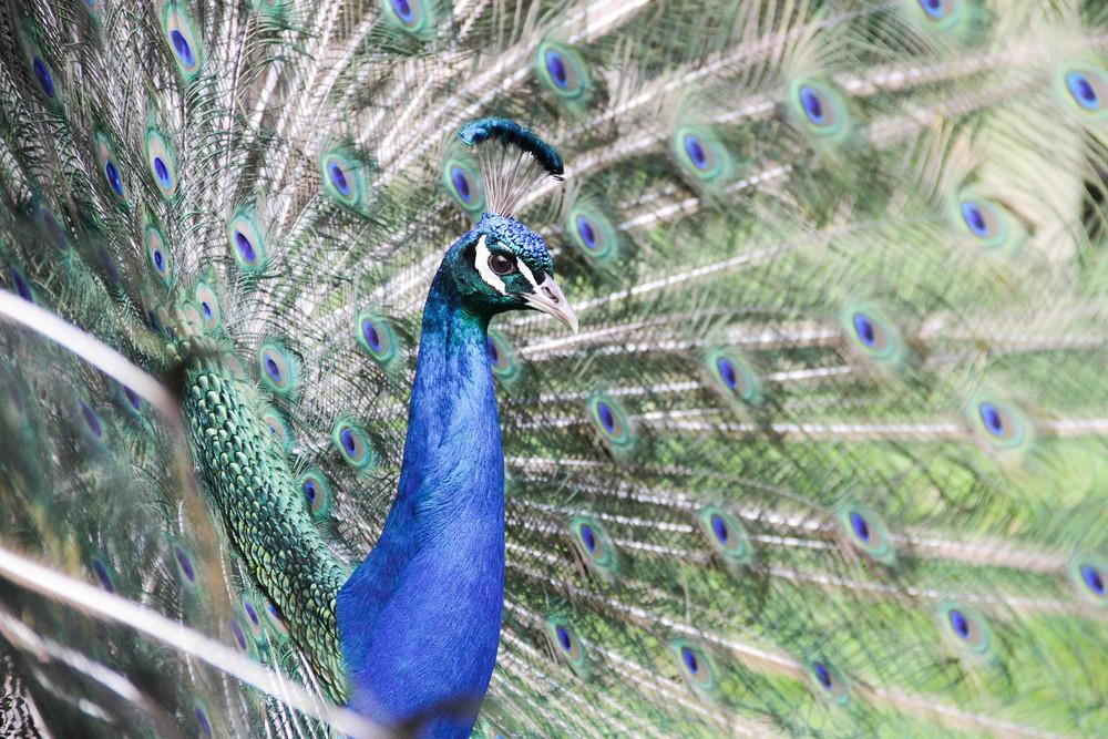 Peacock, NZ, Jakub KAnok.jpg
