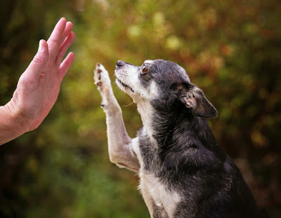 Teaching-older-Chihuahua-High-Five.jpg