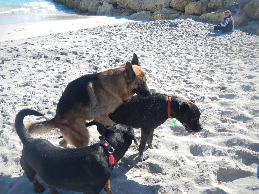Dog Social Structure - Debunking Linear Heirachy