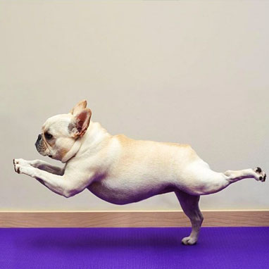 This is Advanced Yoga Dog. He's so in touch with his inner Chi he can defy gravity. Don't  you  want to be as advanced as Advanced Yoga Dog?