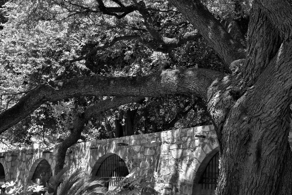 alamo tree and wall