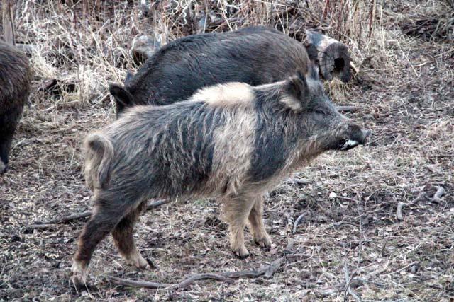 wild_boar_49.jpg