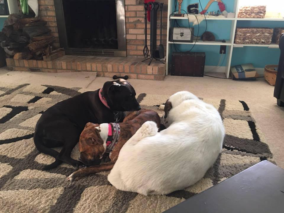 Lily the pit bull (middle) snuggling with her pack, no more fighting!