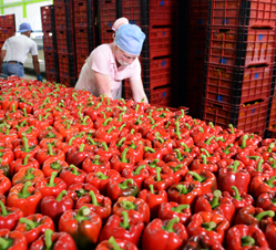 Weis-Buy Farms is growing more bell pepper in its Dominican Republic greenhouses.