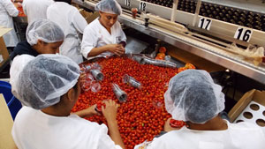 Workers grade grape tomatoes at Tomato Thyme Corp. Lower supplies are keeping Florida tomato prices higher than normal as the deal transitions to the state's spring area.