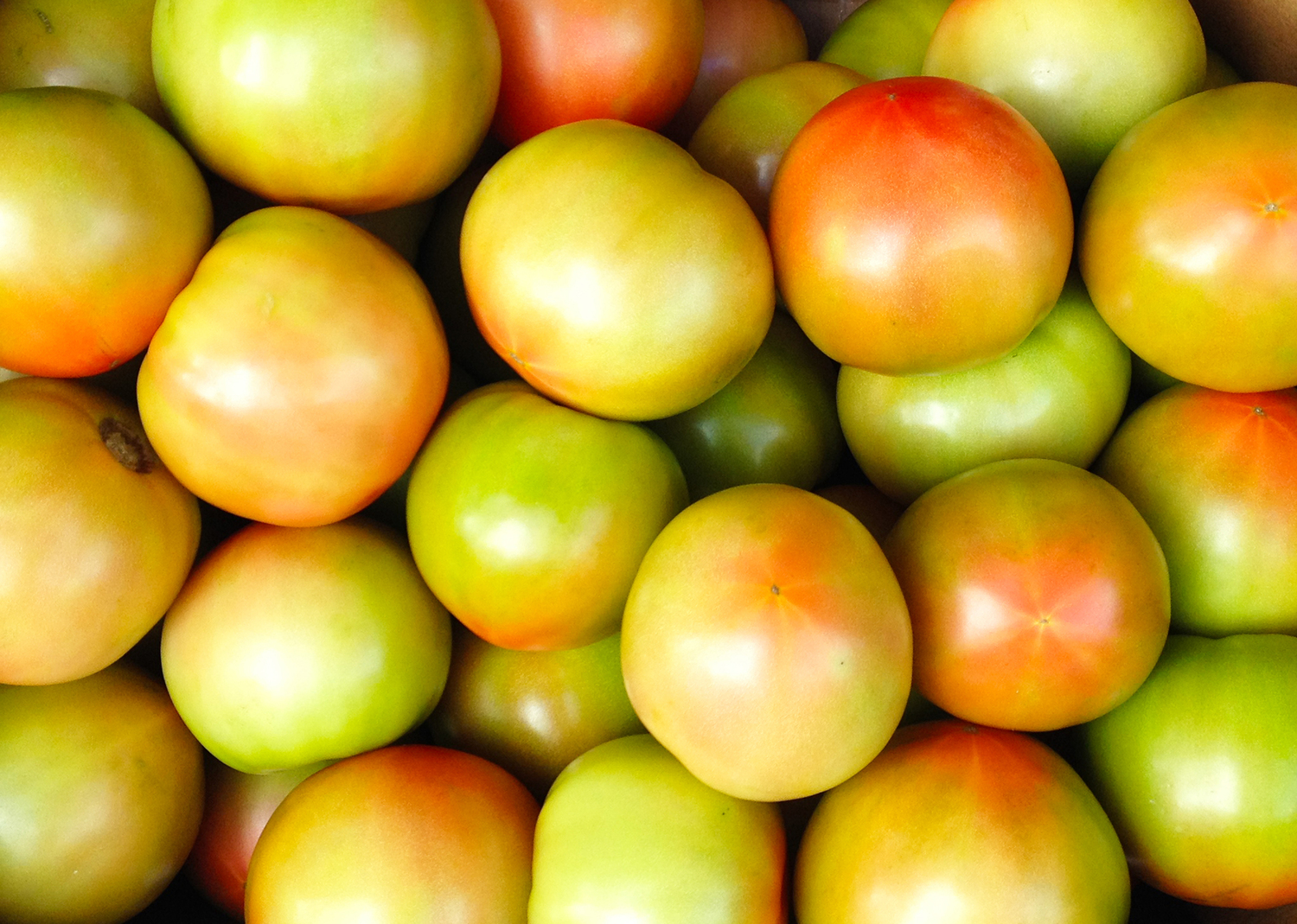 Tomatoes (Mixed red & green) - Medium sized
