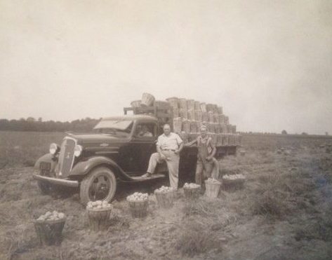 Potato Harvest 1940's