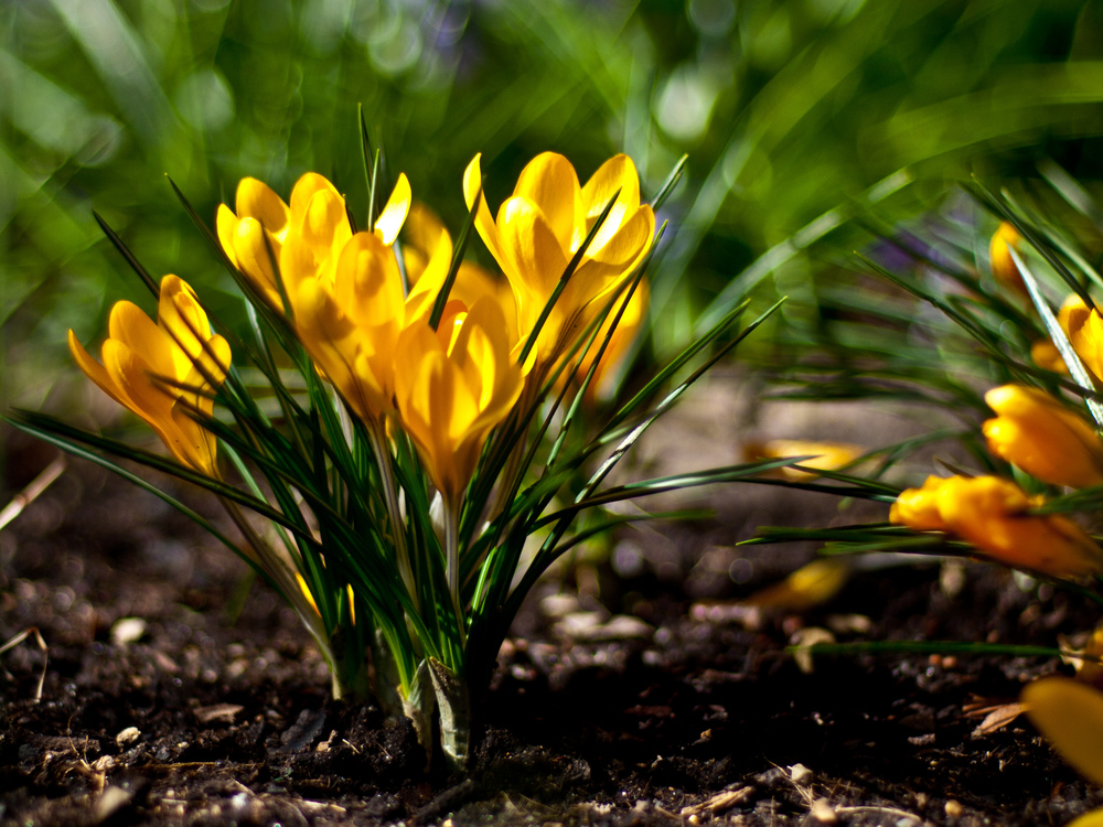 Spring bulbs and flowers