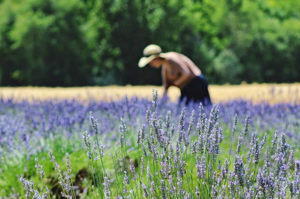 cutting+fresh+lavender.jpg
