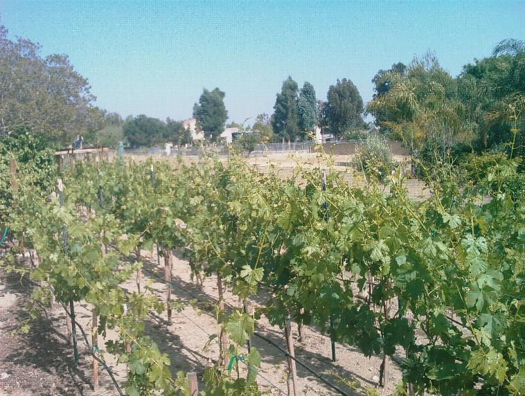 Ferrer CVVC Vineyard