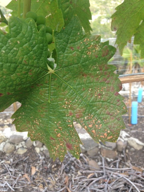 Powdery Mildew Example