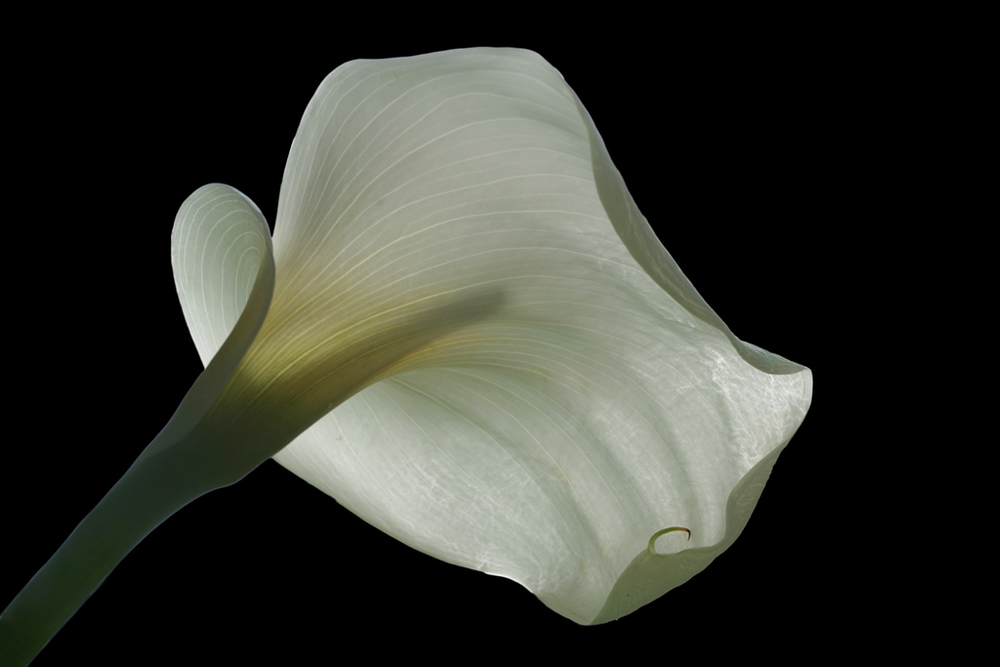 Berns Under the Calla.jpg
