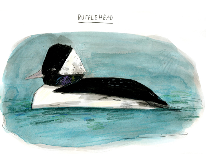 bufflehead, color-72.jpg