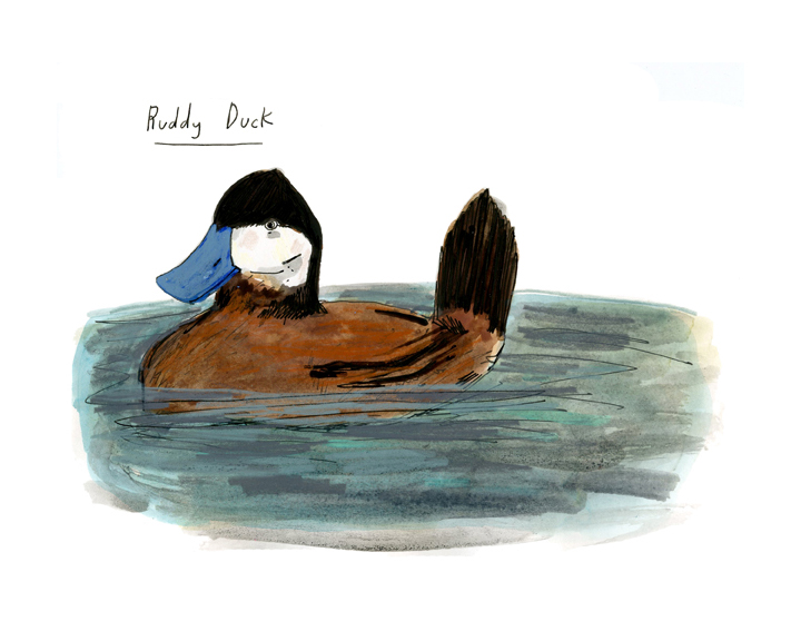 ruddy duck, color-72.jpg