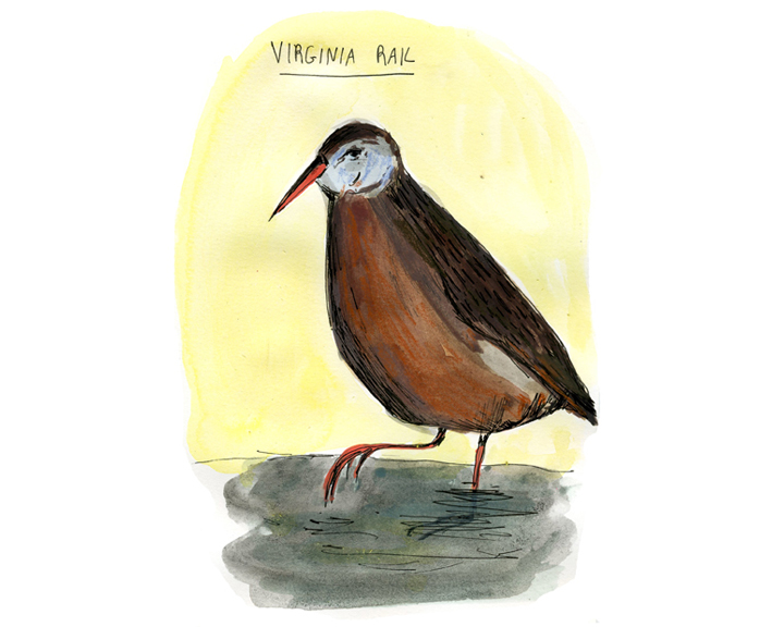Virginia Rail, color-72.jpg