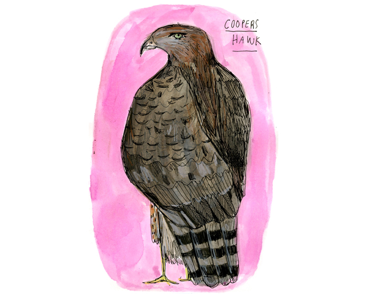 coopers hawk, color-72.jpg