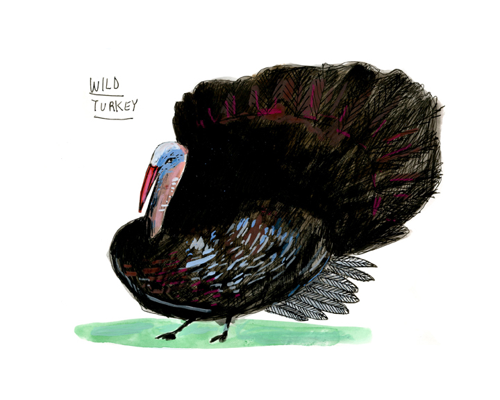 wild turkey, color-72.jpg