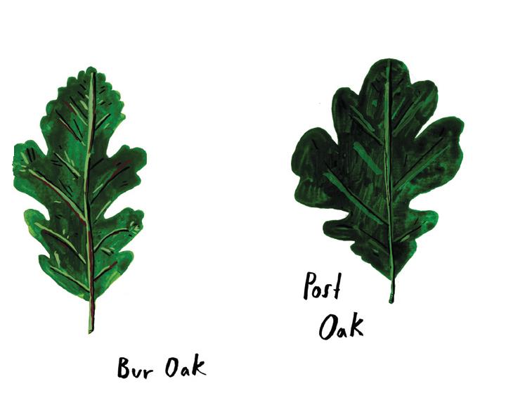 bur oak:postoak.jpg