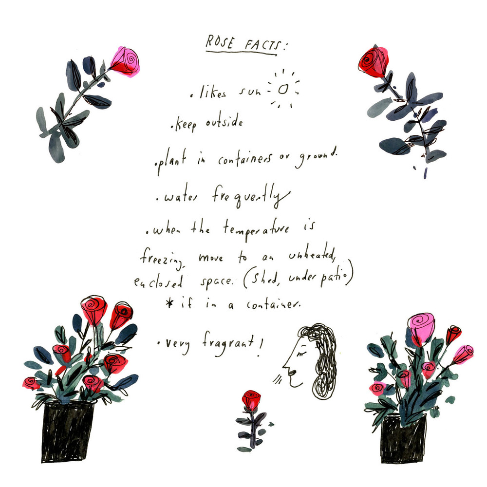 Rose plant facts illustration