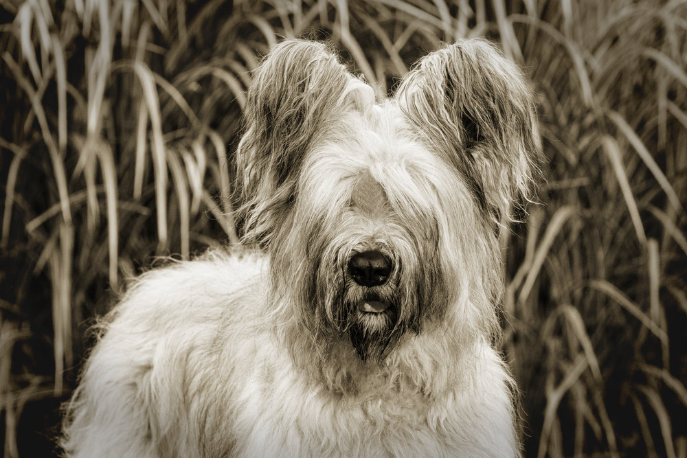 "THE BRIARD: A HEART OF GOLD WRAPPED IN FUR If you've ever seen Star Wars, you probably remember Chewbacca: Han Solo's loyal friend and first mate—the 200-year-old Wookiee became Solo's companion after he refused an order to kill him, promising to protect the smuggler for the rest of his life.  ""The Wookiee is your Briard,"" says Ellen Meyers, who's bred them for 23 years. A mix of brains and brawn with a protective eye toward family and a wariness towards strangers. Could the Briard be the co-pilot that you've been searching for?"