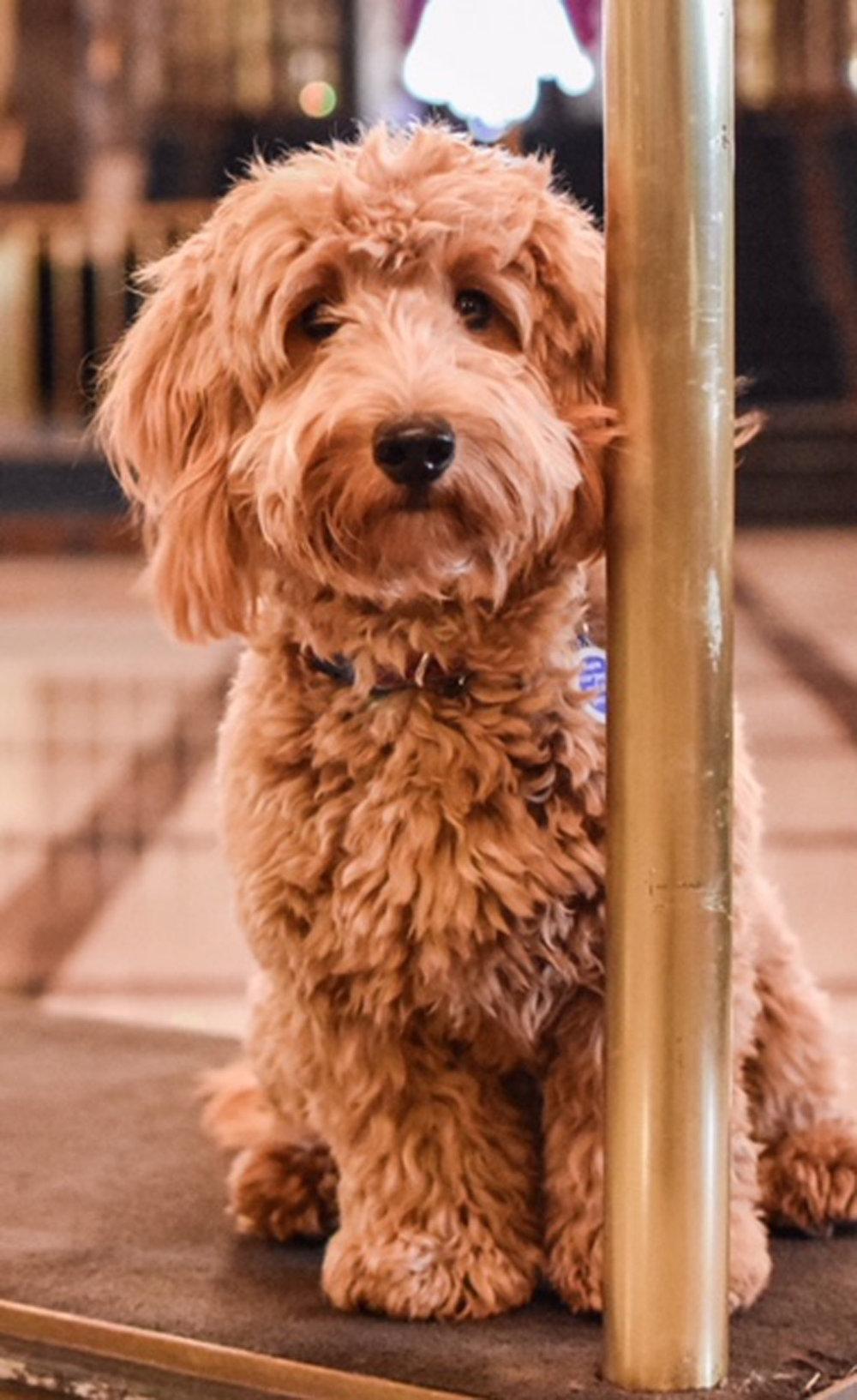 Millie the canine concierge3 Jen O'Hara:dogsofmke.jpeg
