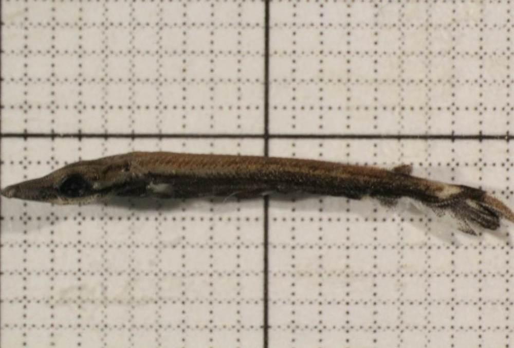 Larval gar collected by Morgan Gilbert