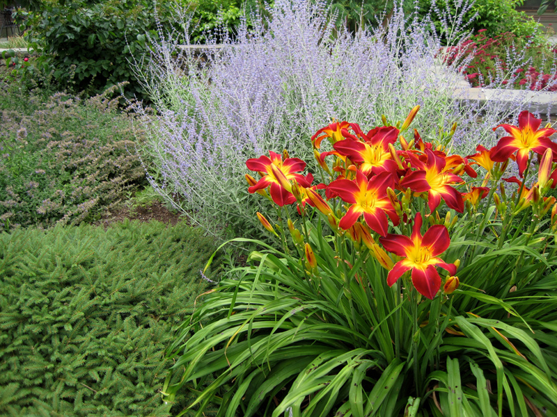 A striking contrast of blue Russian Sage and crimson daylilies