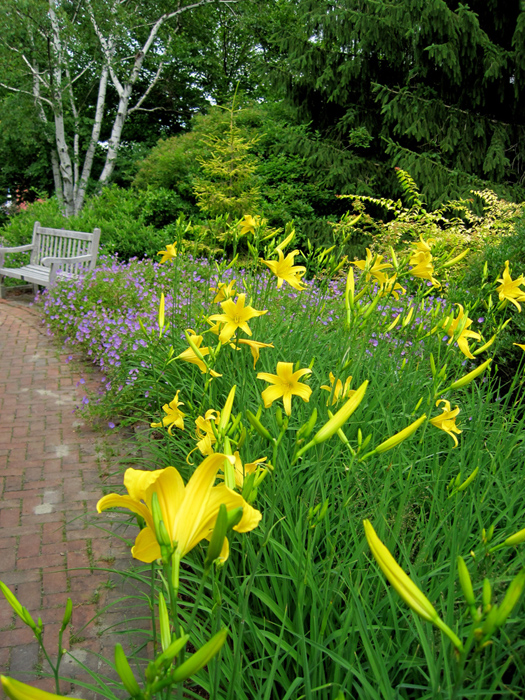 A stunning mass of yellow daylilies with contrasting blue 'Rozanne' geranium and a gold conifer
