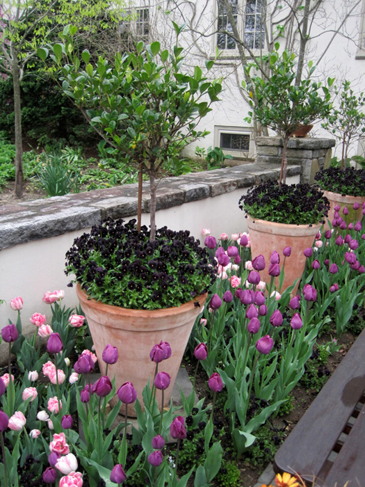 The simple repetition of deep purple-black pansies accentuates the pink and purple tulips.