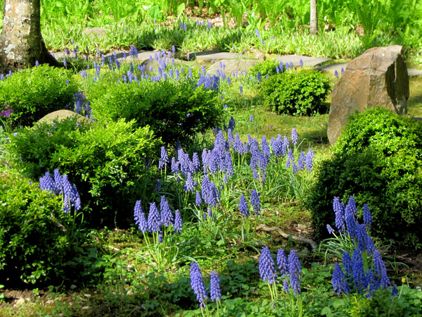 Grape hyacinths at Chanticleer outside of Philadelphia