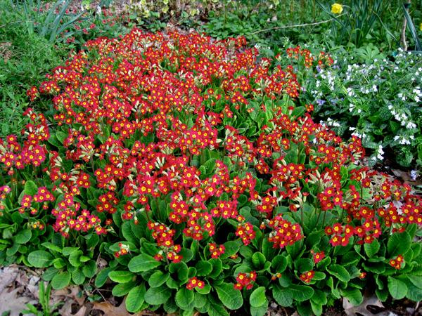 Primroses, Carolyn's Shade Gardens, Wayne, PA