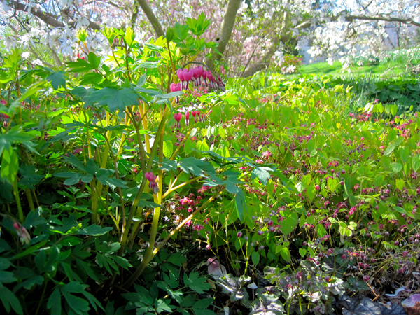 Epimedium roseum and bleeding hearts at Chanticleer