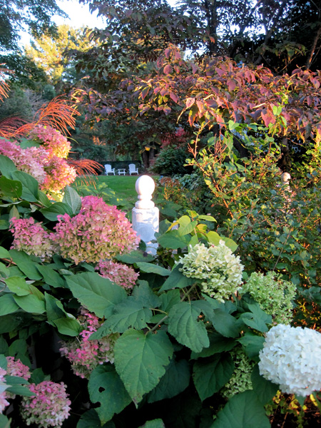 Hydrangeas 'Limelight' and ' Annabelle' with miscanthus zebrinus and dogwood