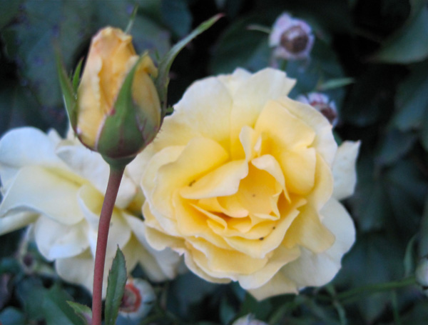 'Oregold' rose