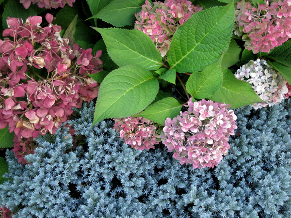 Hydrangea 'Endless Summer', faded from blue to rose and burgundy, with Juniper 'Blue Star'