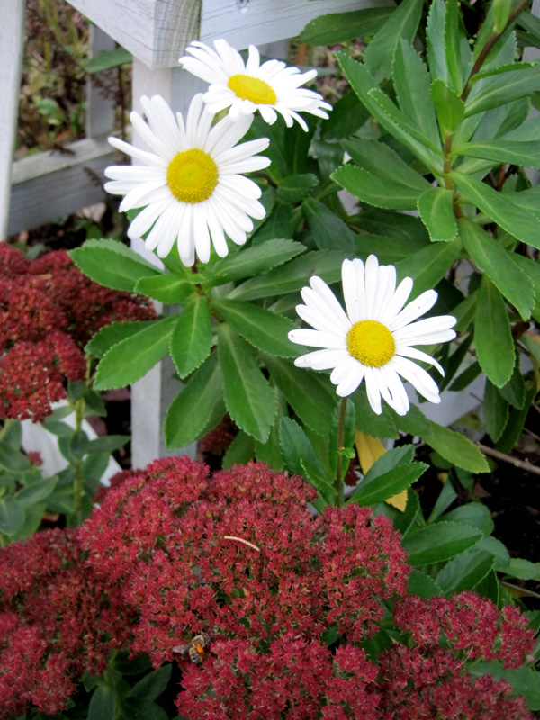 Montauk daisy with sedum 'Autumn Joy'