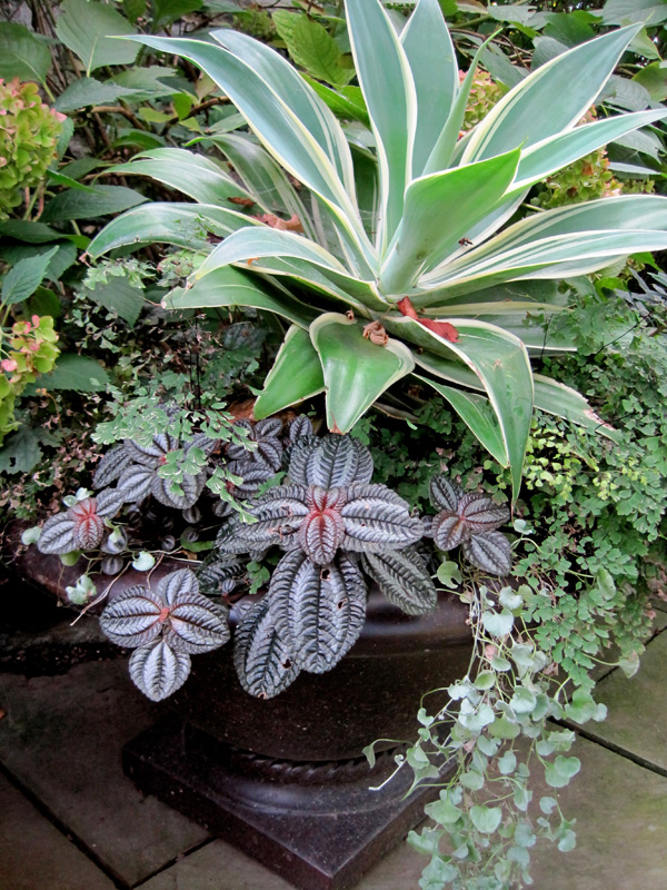 Pepperonia and a variegated agave are beautiful in a bronze urn.
