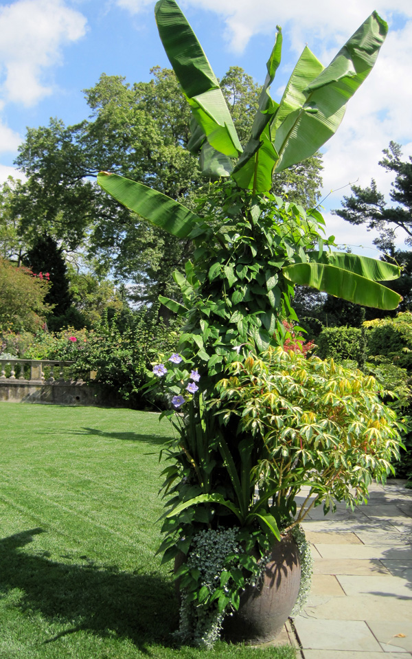 A banana tree creates a towering centerpiece in the garden!