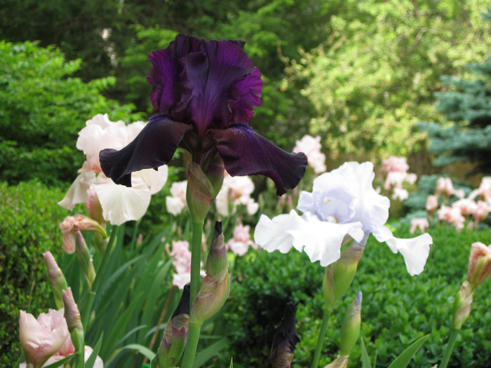 Bearded Iris To Be Divided And Close Up Of With Text Overlay How