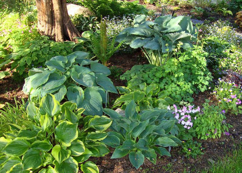 Hosta The Friendship Plant Enchanted Gardens