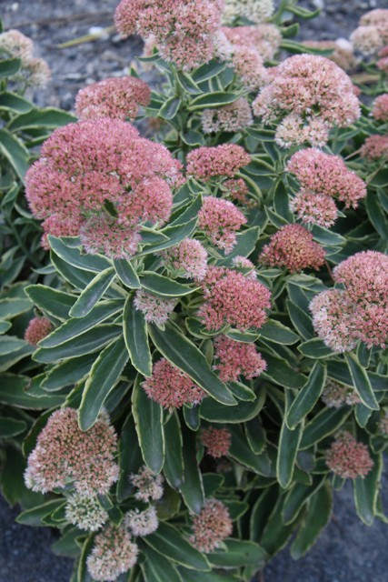 Sedum_Frosted_Fire_in_flower.jpg