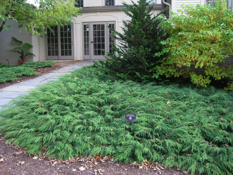 Siberian Cypress A Feathery Carpet For The Winter Garden
