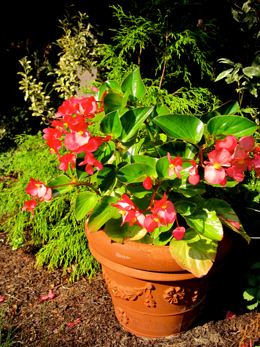 angel-wing-begonia.jpg