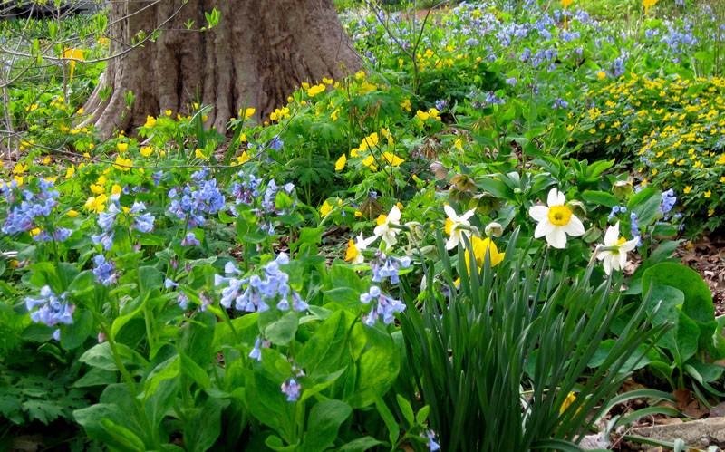 Virginia bluebells, daffodils and celandine poppy in the spring