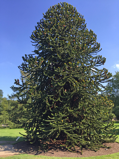 This specimen monkey puzzle tree was planted in 1978. The first monkey puzzle trees were brought to the UK in 1795 from chile.
