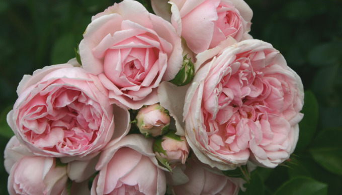 Cinderella Rose, photo courtesy of palatine roses
