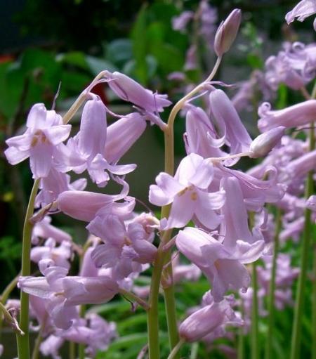 Spanish bluebells welcome spring enchanted gardens white spanish bluebells with bergenia ajuga and geranium macrorhizum mightylinksfo