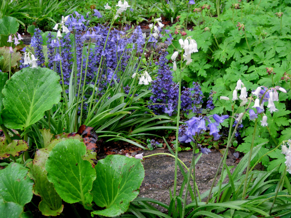 White Spanish Bluebells with Bergenia, Ajuga, and Geranium macrorhizum