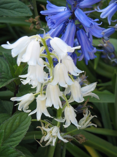 Spanish bluebells welcome spring enchanted gardens each bulb produces a clump of 2 6 strap shaped leaves and a flower stem with 12 15 hanging bell shaped flowers mightylinksfo