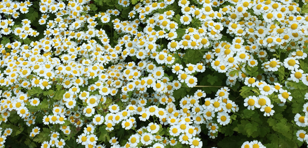 A chartreuse form of feverfew has self-seeded throughout the garden, and its miniature flowers bloom for weeks.